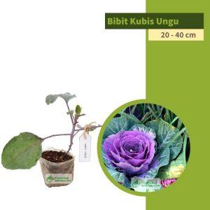 bibit sayuran kubis ungu